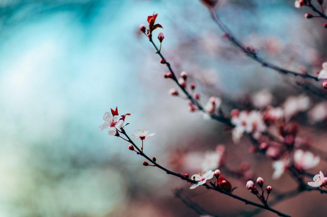 cherry-blossom-1209577_1280